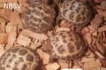 Agrionemys horsfieldii (russische steppen / vierteen schildpad)